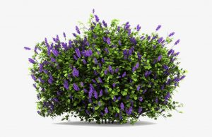 Lilac Eliminate Old Home Smell